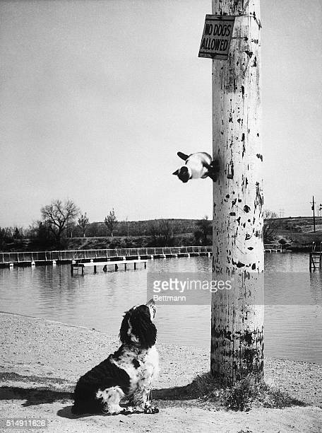 4/13/1962Carlsbad NM 'Whatsammatter flopears can't you read' defying gravity as well as 'Judge' the cocker spaniel 'Honey Pie' gives a piece of her...