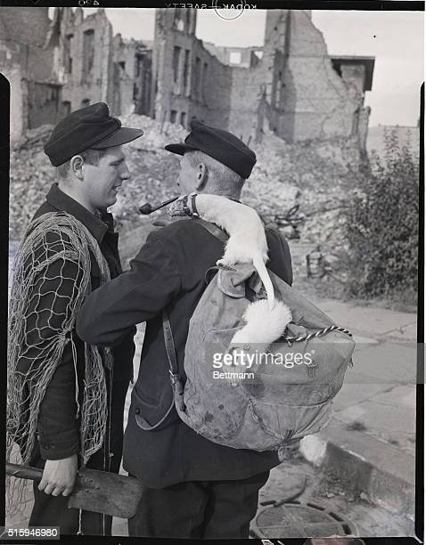 4/3/1954Berlin Germany Kurt Stein and Wilhelm Miele get ready for a rabbit hunt using the ferrets instead of guns The ferrets Fritz and Lotte The...