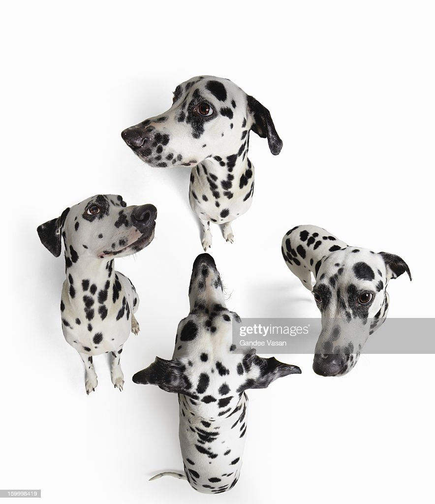 4Dalmatians : Stock Photo