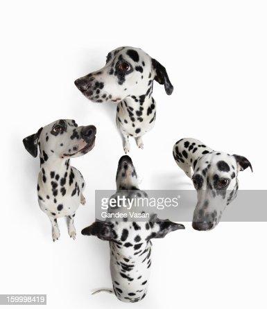 4Dalmatians : Stock Photo