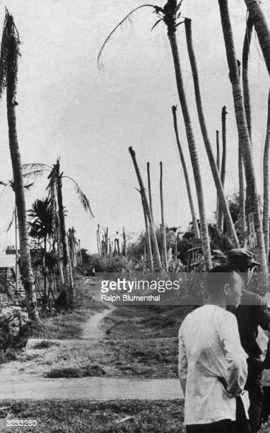 Vietnamese men stand on a path lined with bare palm trees in Binhtre South Vietnam after the area was sprayed with Agent Orange defoliant by the US...