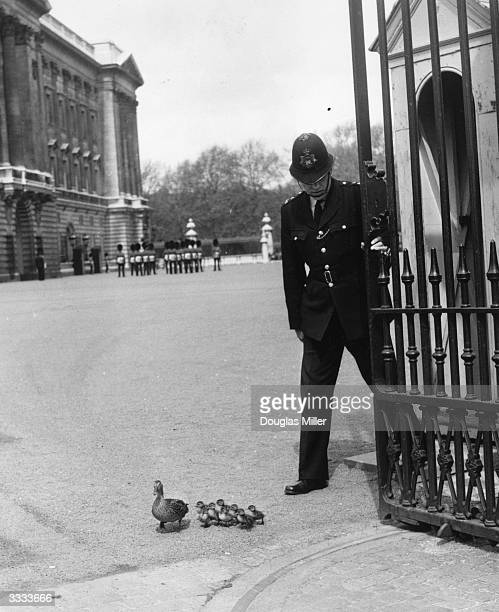 A policeman at Buckingham Palace holds the gate open so that a duck and her ducklings from nearby St James's Park can leave the palace forecourt