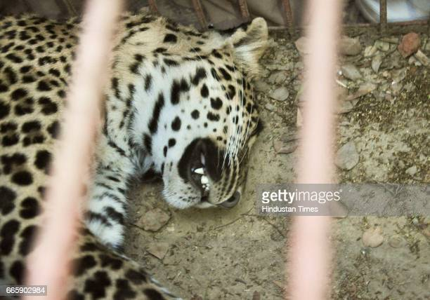 A 4yearold leopard tranquilised by forest department on April 7 2017 in Ghaziabad India It sneaked in at Krishna Vihar Kuti locality near...