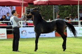 5th Arabian Horse Beauty Contest is organized in Benghazi Libya on 24 April 2014 Contest is managed by international arbitrators and continue for two...