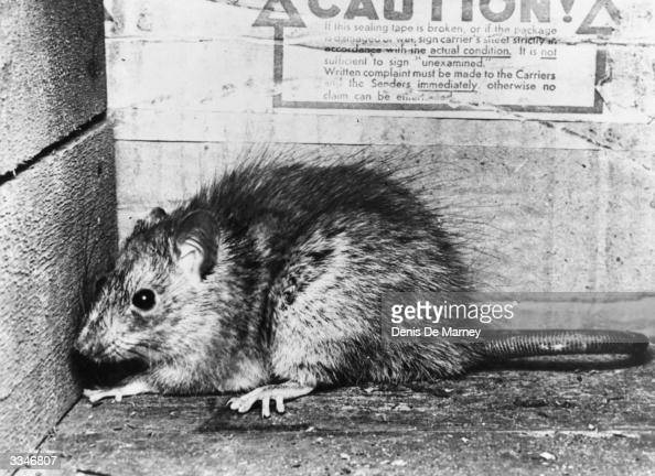 A rat hiding between boxes in a warehouse