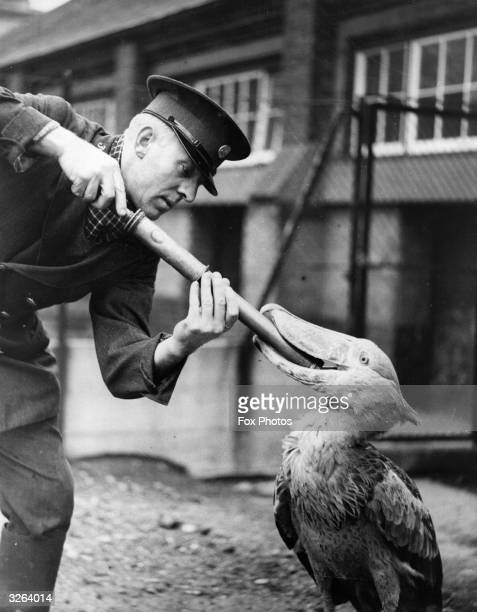 A keeper at the London Zoo syringes the Shoebill's throat to protect him against colds