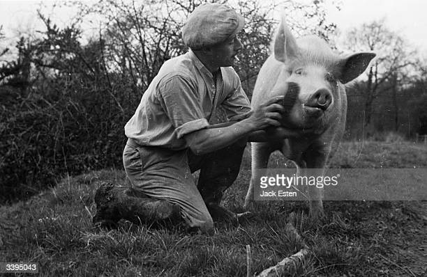 A herdsman brushes the cheeks of a pedigree Large White Gostrode pig called Greenback XVth in preparation for the Crewe agricultural show in Cheshire...