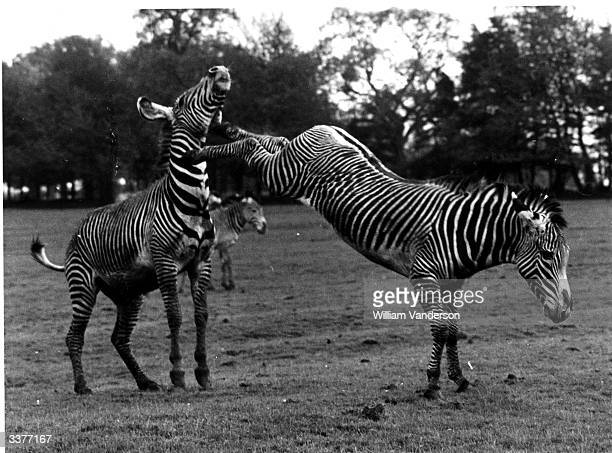 A zebra kicking another zebra in the neck in the paddock at Whipsnade Zoo Bedfordshire