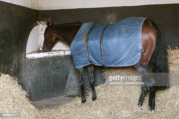 5yearold French Thoroughbred racehorse 'Treve' is pictured in its box after training in Gouvieux north of Paris on September 23 2015 French racehorse...