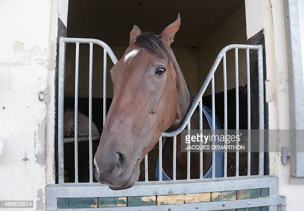5yearold French Thoroughbred racehorse 'Treve' is pictured in its box after training in Gouvieux north of Paris on September 23 2015 Horse trainer...