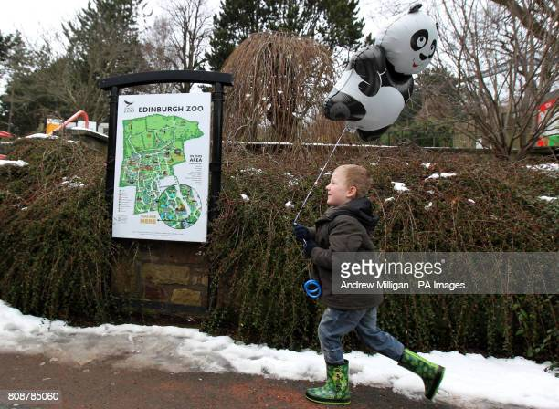 5yearold Josh Gibson holds a giant panda balloon at Edinburgh Zoo after it was announced giant pandas Tian Tian and Yangguang a breeding pair born in...