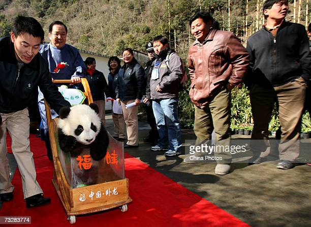 A 6monthold giant panda cub sits in a cart during a ceremony at the China Wolong Giant Panda Protection and Research Centre on February 10 2007 in...