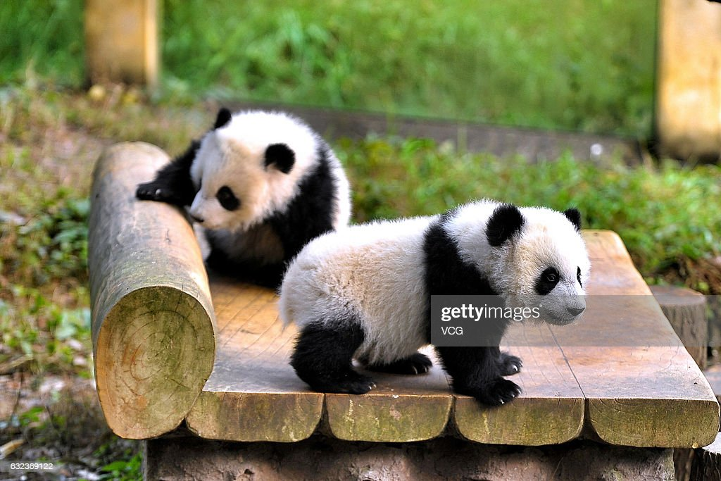 Panda House 6-month-old giant panda twins debut in chongqing photos and images