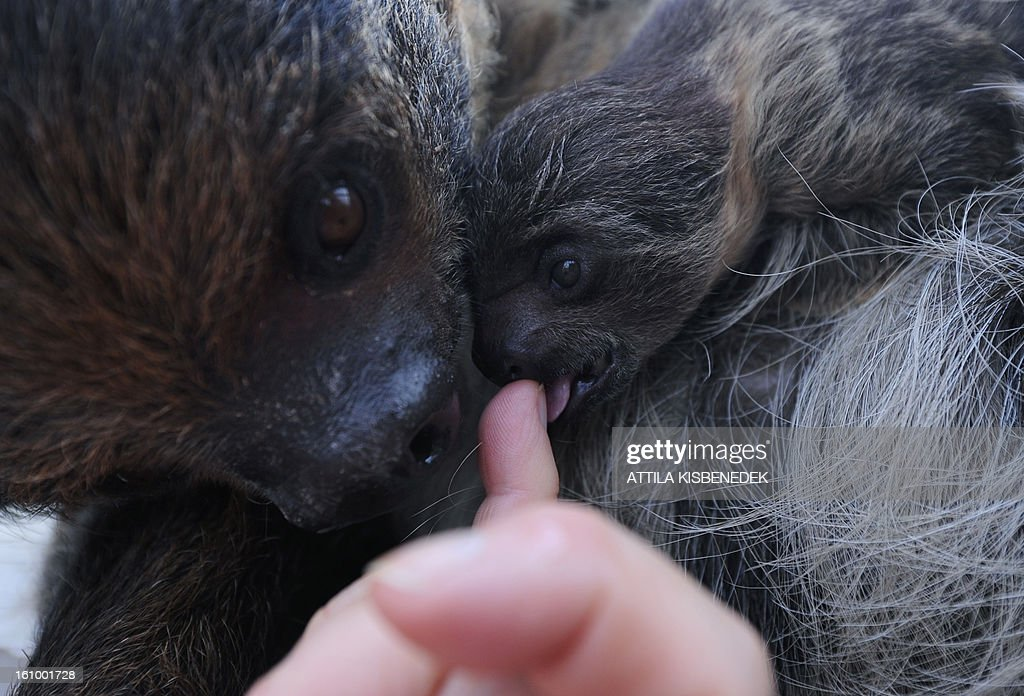 A 6-week old sloth baby and its mother 'Banya' play with an employee of the Budapest Zoo and Botanic Garden in the Hungarian capital on February 8, 2013. The young animal was born on December 24, 2012.