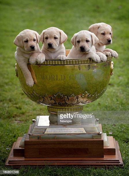 6weekold Guide Dogs Victoria puppies pose in the ISPS Handa World Cup ahead of Melbourne's World Cup of Golf on September 13 2013 in Melbourne...
