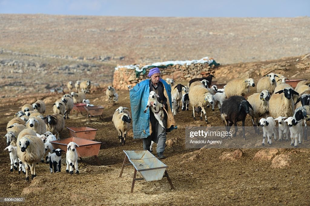 A 75-year old breeder, Seydi Turan, carries a lamb as he herds sheep Sanliurfa, Turkey on December 29, 2016. Seydi Turan continues husbandry despite his advancing age. He and his wife take care of approximately 500 sheep night and day, in a tent which he set up with the help of his wife in Boztepe district of Sanli Urfa. Seydi Turan, spends most of his day with his sheep, wakes up before the sunrise to control and feed, takes special care of sick and motherless ones almost without resting.