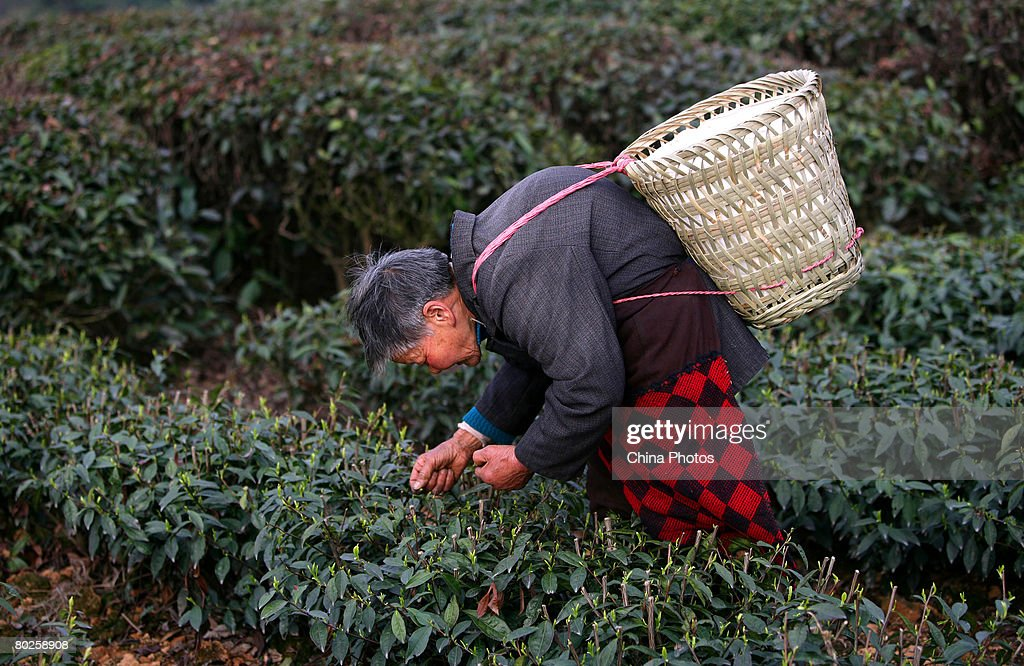 A 76-year-old farmer plucks fresh tea leaves at the Ersheng Tea Garden in Banan District on March 14, 2008 in Chongqing Municipality, China. About 10 percent of tree plants have been frozen to death in the recent snow disaster, which caused about 30-50 percent reduction in the tea production and delayed sales in the worst-affected provinces by 20 to 30 days.