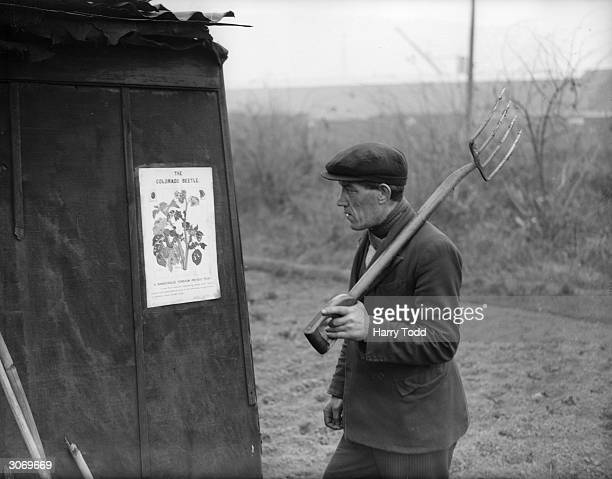 An allotment holder reads one of the many warning notices about the deadly Colorado Beetle which has infested potato crops in the Tilbury area