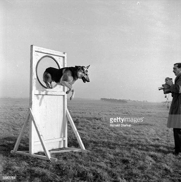 RAF guard dog 'Youth' jumping through hoops during training at an RAF base at Netheravon near Salisbury as Picture Post photographer Carl Sutton...