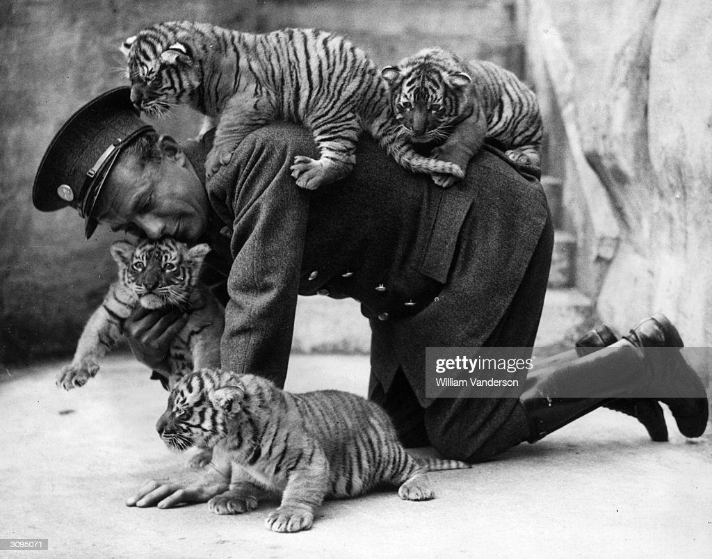 Eight week old tiger cubs belonging to Ranee, a tiger ar Whipsnade zoo, find that their keeper is very useful as a climbing post.