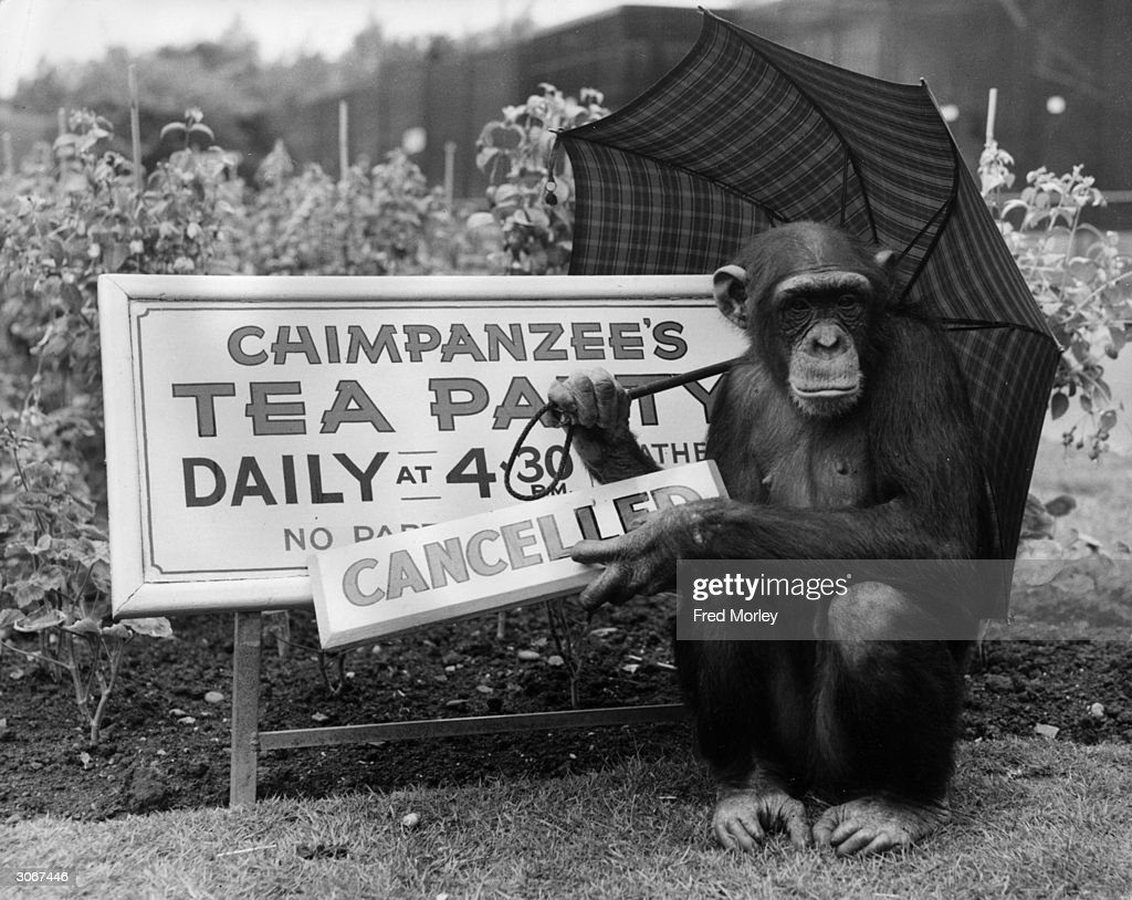 The chimpanzees' tea party is cancelled because of the rain so Fifi the chimp fixes a 'cancelled' sign to the notice