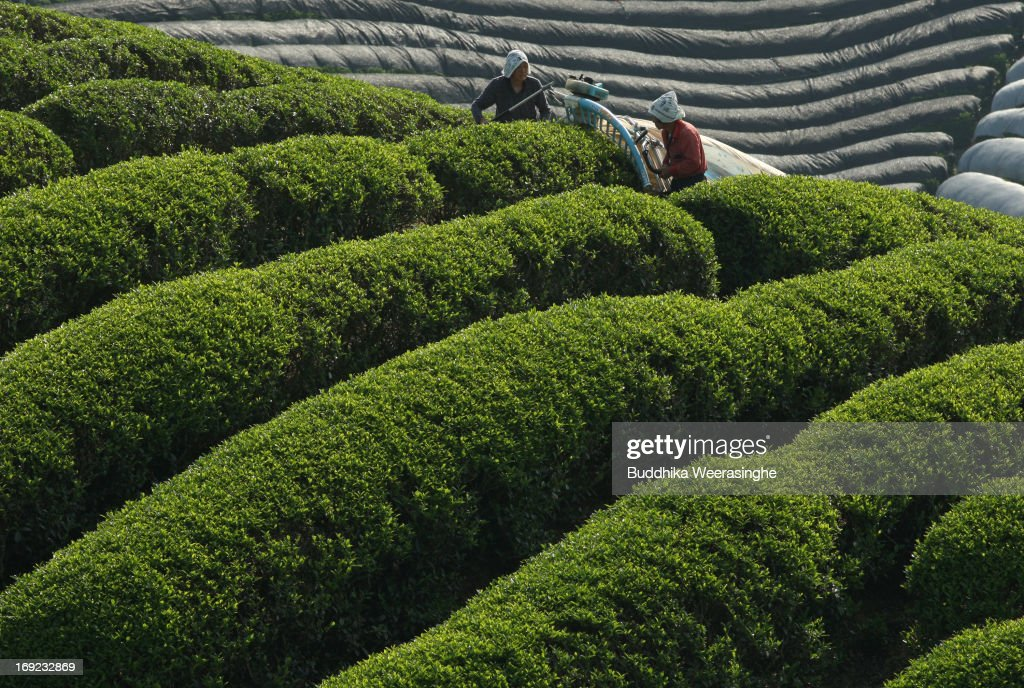 80-year-old Japanese woman Yaeko Asada (L) and Shigeharu Asada harvest fresh green tea leaves at a tea farm in the hills of Ujitawara on May 22, 2013 in Ujitawara, Japan. Green tea is cultivated in various regions of Japan, the second largest green tea producer in the world . The Uji area is one of the most famous tea field growing regions in Western Japan and is now in the heavest season.
