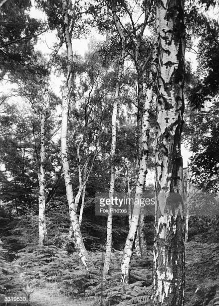 A Silver Birch tree forest with ferns