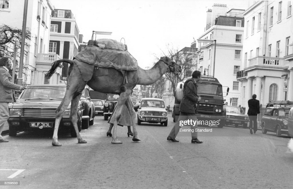 A camel on its way to a take part in a publicity stunt in Belgravia to publicise a Royal Gala Charity evening at Olympia exhibition centre London