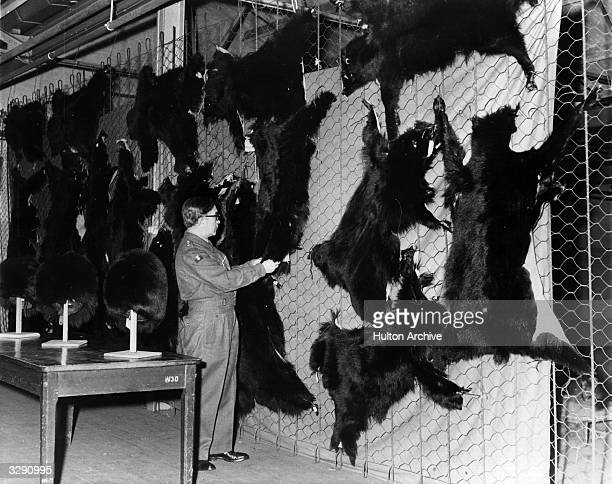 A consignment of bearskins are inspected at the Ordnance depot in Northolt The skins were sent from Canada and there are sufficient to make 50...
