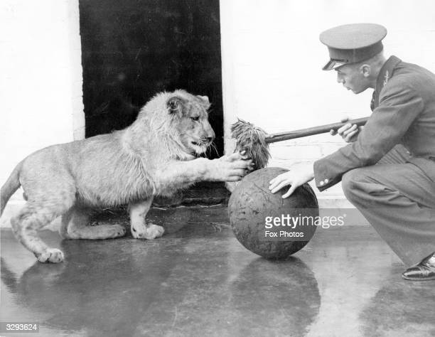 Jimmy a young lion at London Zoo playing with his keeper's mop and a ball