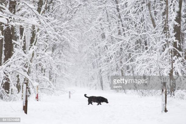 a black dog on the trough the forest in the snow in winter