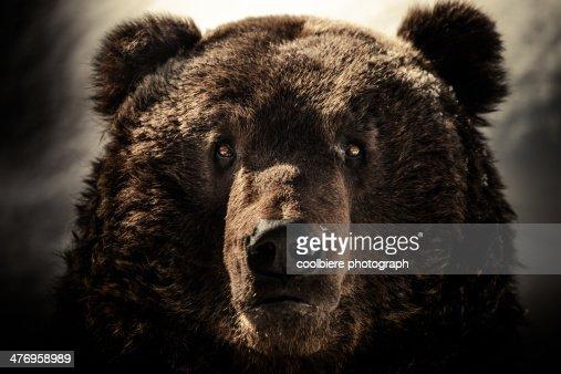 a Brown bear face shot