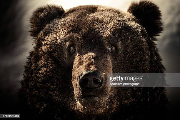 a Brown bear face shot
