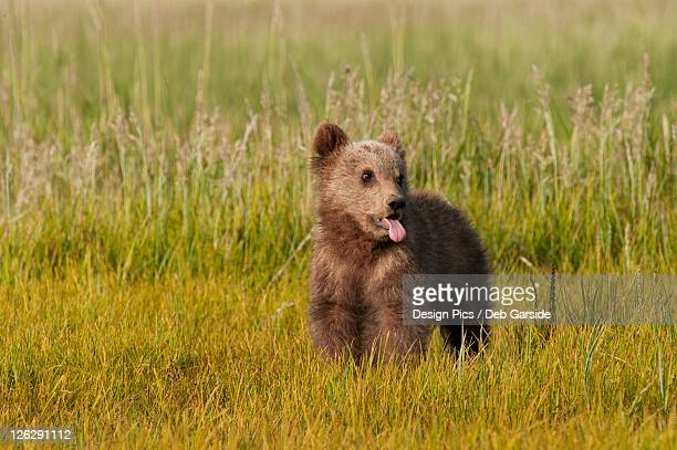 a brown grizzly bear cub (ursus arctos horribilis)