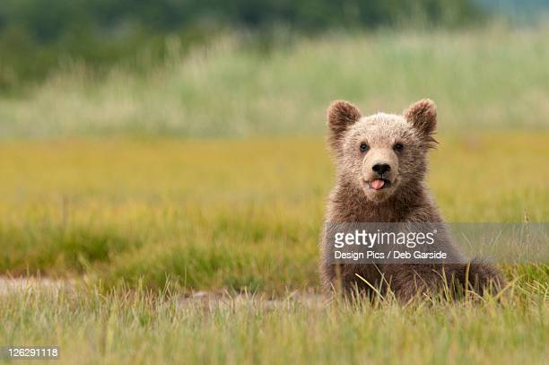 a brown grizzly bear cub (ursus arctos horribilis) sticking out it's tongue