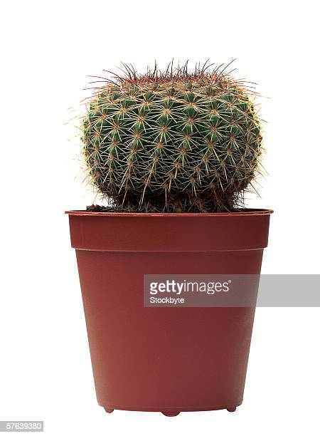 a cactus plant in pot