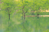 a Calm Lake With Several Trees Standing in It, Front View, Yamagata Prefecture, Japan