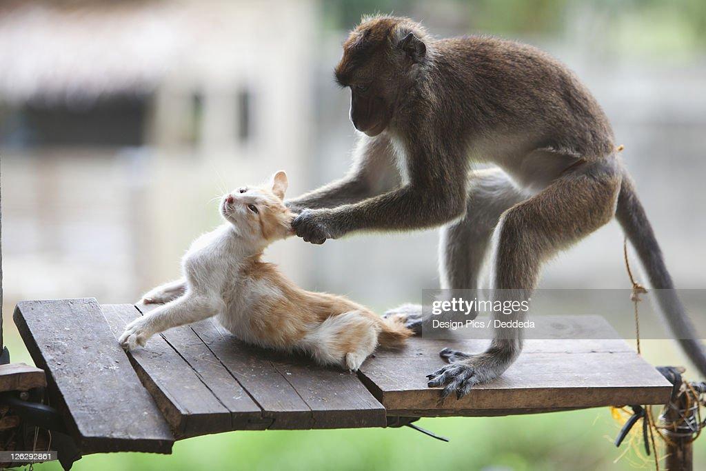 a captive monkey pulls a kitten's ears at a farmer's property near bias city