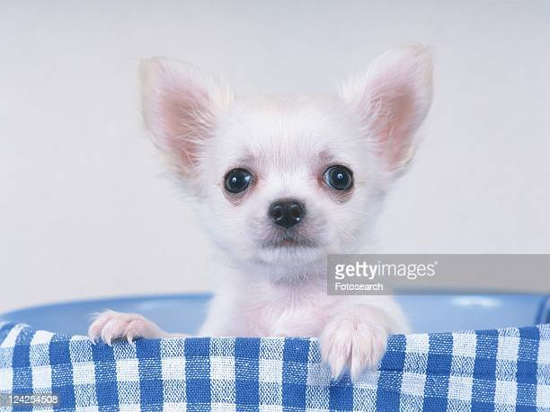 a Chihuahua, Sitting in a Blue Plastic-bowl, Looking at Camera, Front View