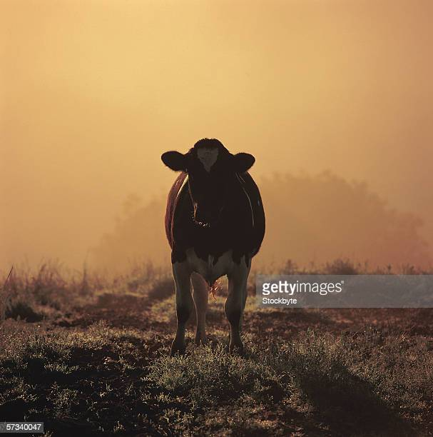 a cow standing in a field with fog