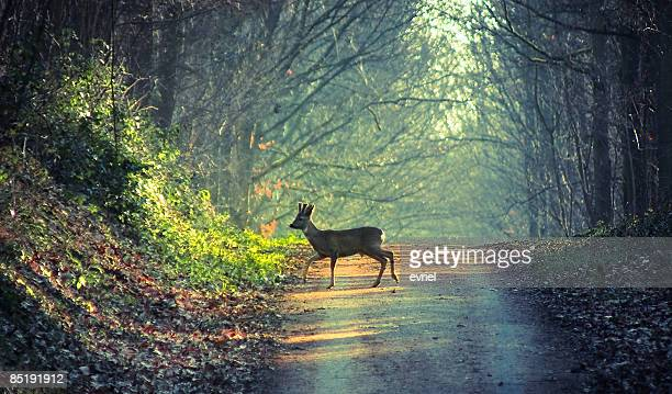 a doe which crosses a road in wood