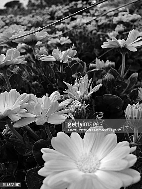 a field of daises