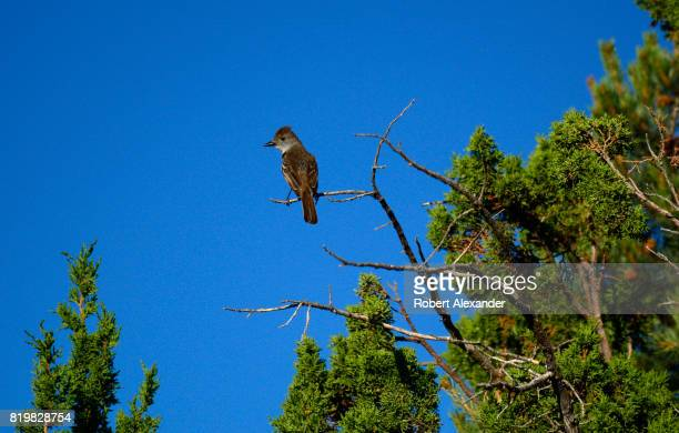 a flycatcher perches on a branch in Santa Fe New Mexico