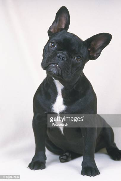 a French Bulldog, Sitting on a White Blanket, Looking Sideways, Front View