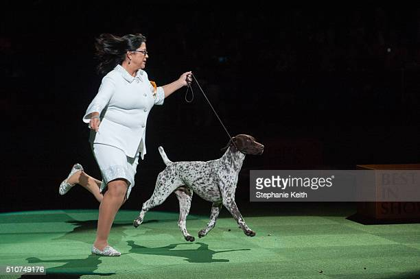 J a German Short Haired Pointer performs on the second day of the 140th annual Westminster Kennel Club dog show at Madison Square Garden on February...