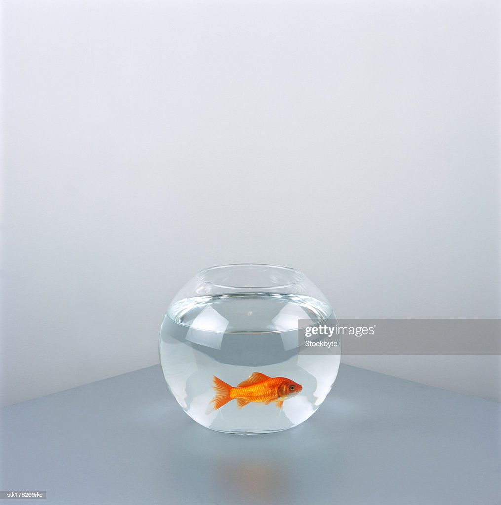 a gold fish in fishbowl : Stock Photo