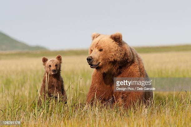 a grizzly bear (ursus arctos horribilis) and her cub with milk on it's face