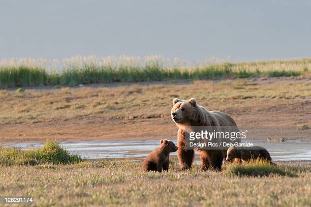 a grizzly bear (ursus arctos horribilis) with two cubs crossing the river