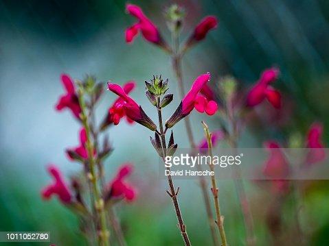 小さな赤いセージ ブラシの花の...