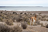 a Guanaco looks out at patagonia beach